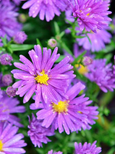Aster novae-angliae 'Violetta', Raublatt-Aster
