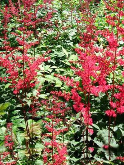 Flächendeckende Bepflanzung mit der Astilbe 'Radius'