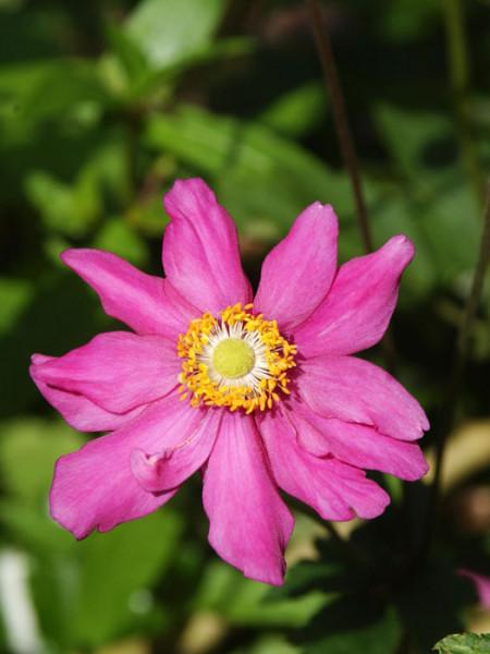 Einzelblüte der Herbstanemone 'Prinz Heinrich'