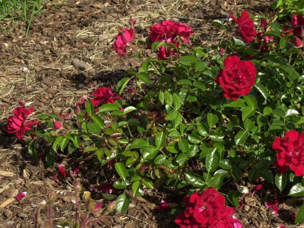 Strauch der Rose Mainaufeuer