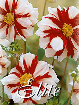 Mignon-Dahlie 'Fire and Ice', Dahlia (Art.Nr. 520562)