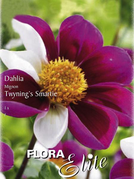 Mignon-Dahlie 'Twynings Smartie', Dahlia (Art.Nr. 520578)