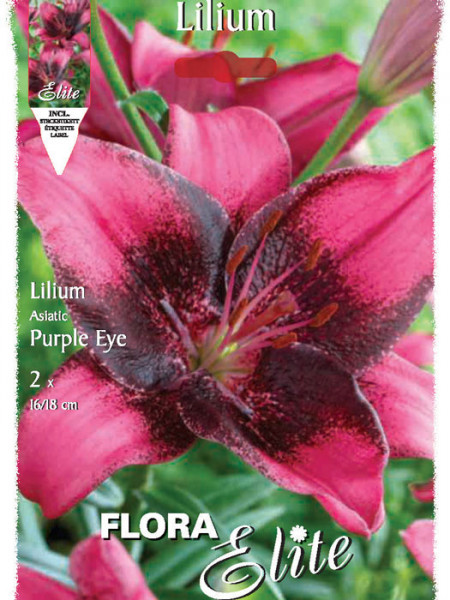 Asiatische Lilien-Hybride 'Purple Eye', Lilium (Art.Nr. 521673)