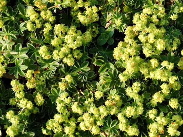 Alchemilla faeroensis pumila, Zwerg-Frauenmantel