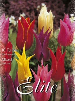 Lilienblütige Tulpen-Prachtmischung (Art.Nr. 595490)