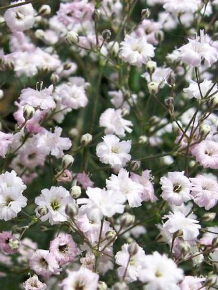 Gypsophila paniculata 'Bristol Fairy', Schleierkraut, rispiges Gipskraut
