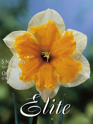 Schmetterlings-Narzisse 'Orangery' (Art.Nr. 596034)