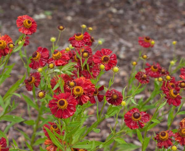 Helenium cultorum 'Red Army', Sonnenbraut