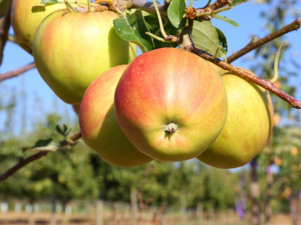 Herbstapfel 'Tramin'