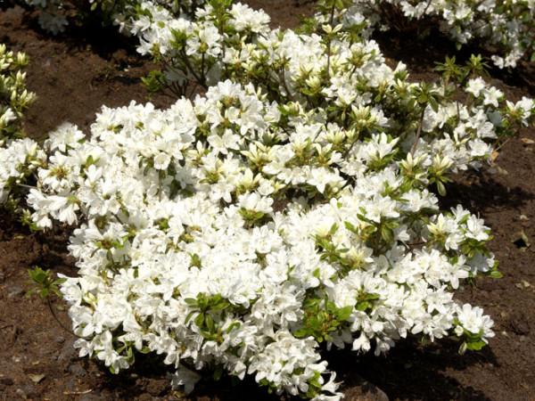 Rhododendron obtusum 'Kermesina Alba', wintergrüne japanische Zwergazalee