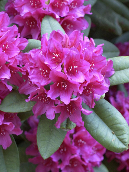 Rhododendron 'Dr. H. C. Dresselhuys' INKARHO®