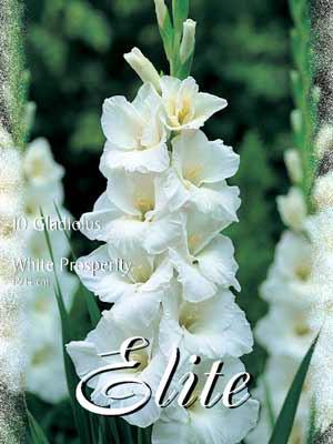 Großblumige Gladiole 'White Prosperity', Gladiolus (Art.Nr. 521322)