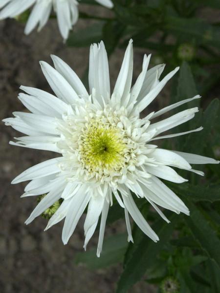 Leucanthemum x superbum 'Christine Hagemann', Sommer-Margerite