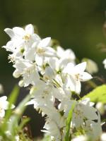 Deutzia gracilis, Maiblumenstrauch