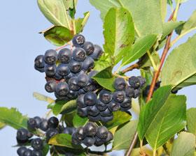 Apfelbeere-Frucht