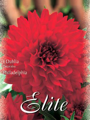Schmuck-Dahlie 'Philadelphia', Dahlia (Art.Nr. 520184)