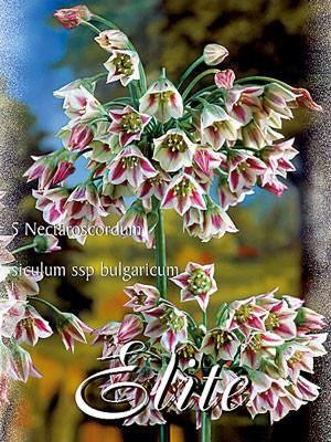 Bulgarischer Zierlauch, Nectaroscordum bulgaricum (Art.Nr. 597210)
