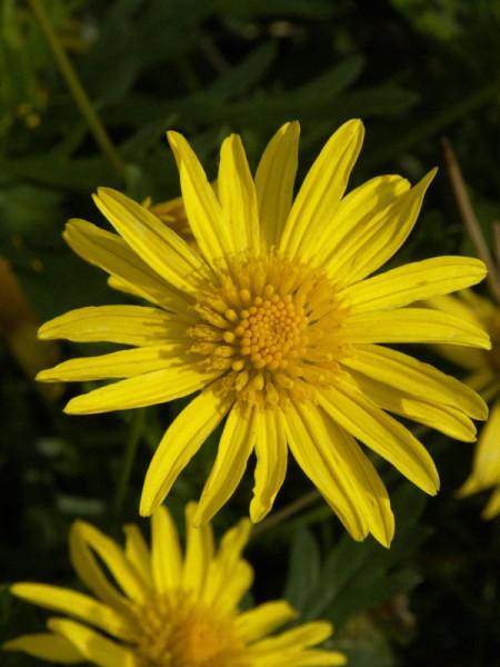 Euryops Hybride - gelbe Strauchmargerite