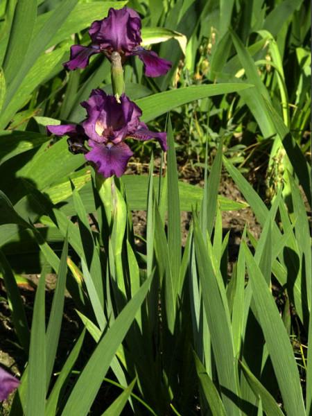 Iris x barbata-nana 'Atroviolacea', Zwerg-Bartiris, Zwerg-Schwertlilie