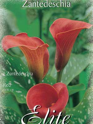 Calla 'Red', Zantedeschia (Art.Nr. 522166)