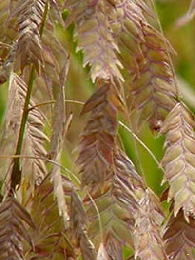 Chasmanthium latifolium 'River Mist', Weißbuntes Plattährengras
