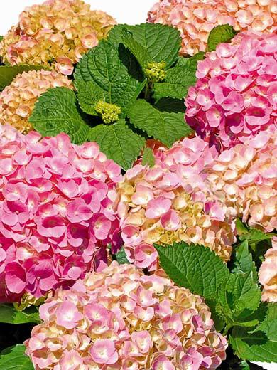 Blüten und Blätter Double Pink