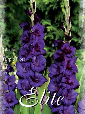 Großblumige Gladiole 'Purple Flora', Gladiolus (Art.Nr. 521308)