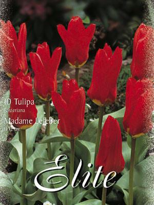 Fosteriana Tulpe 'Madame Lefeber' (Art.Nr. 595714)