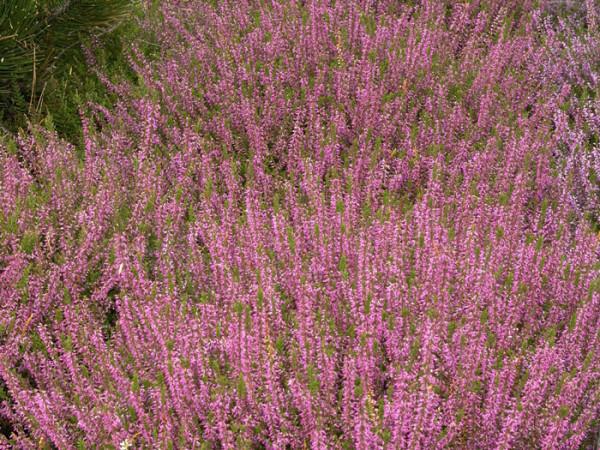 Pflanzung mit der Besenheide 'Marlies'