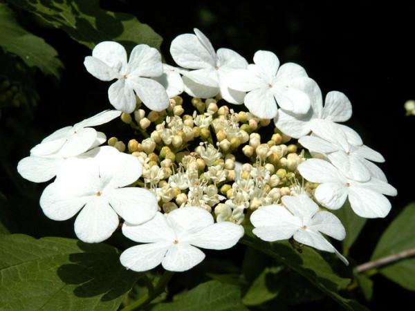 Gemeiner Schneeball Blüte