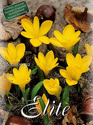 Gewitterblume, Sternbergia lutea (Art.Nr. 597374)