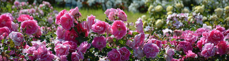 rosen-cat
