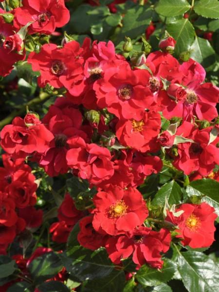 Blühende Rose Alpenglühen