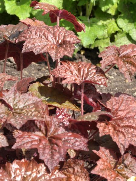 Heuchera x micrantha 'Palace Purple' (M), Purpurglöckchen, Purpurblatt