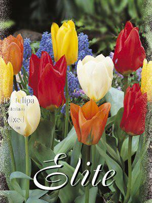 Fosteriana-Tulpen-Prachtmischung (Art.Nr. 595740)