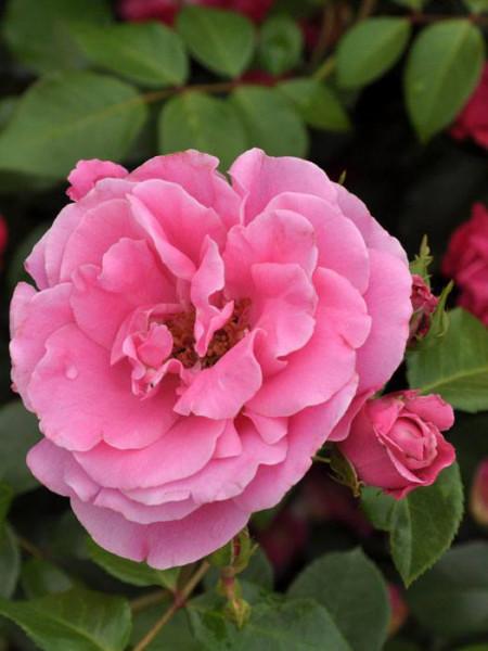 Blüte der Rose Playrose