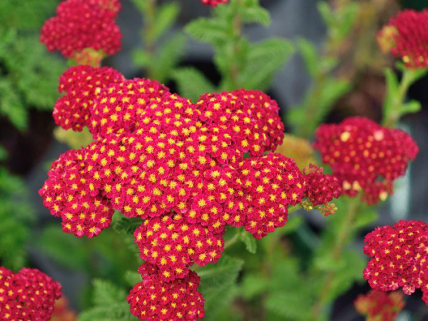 Achillea millefolium 'Tutti Frutti Pomegranate'®, Schafgarbe