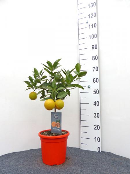 Orangenbaum 'Blutorange' - Orange Time®
