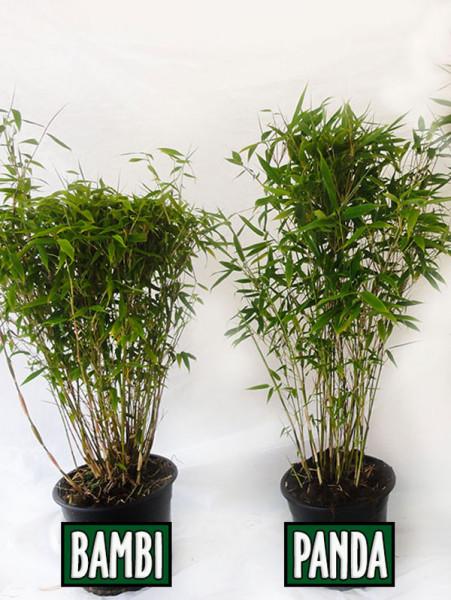 Fargesia murielae 'Panda', Schirmbambus