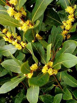 Laurus nobilis, Lorbeer