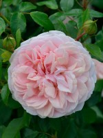 Rose Garden of Roses ® - Kordes