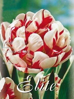 Gefüllte späte Tulpe 'Carneval de Nice' (Art.Nr. 595405)