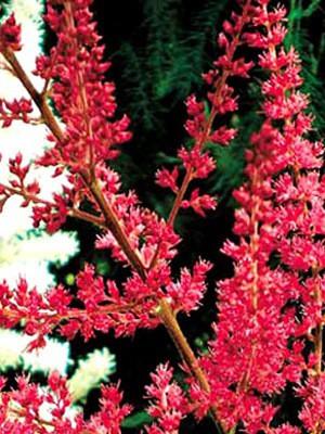 Blütenstand der Astilbe 'Radius'
