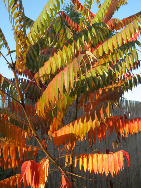 Essigbaum Triebe