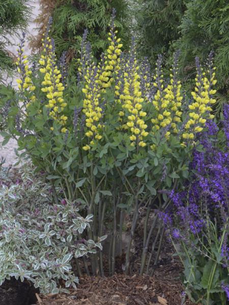 Baptisia decadence 'Lemon Meringe', Indigolupine