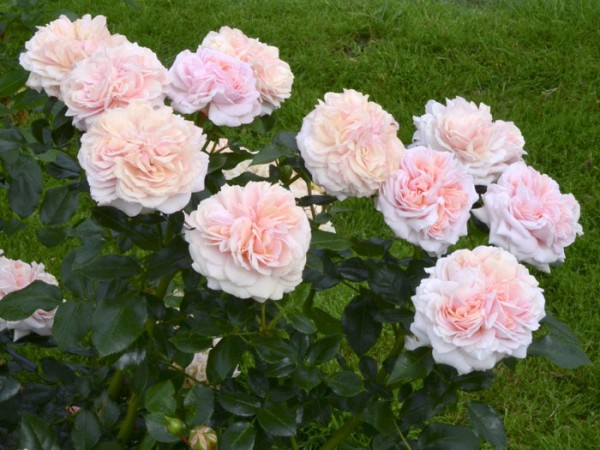 Beetrose Garden of Roses