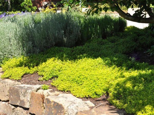 Gelber Zitronenthymian, Thymus citriodorus 'Golden Dwarf'