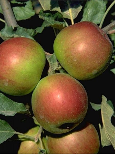 Apfel Jonathan