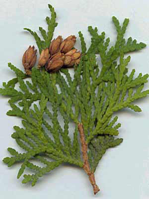 Samenkapsel Thuja occidentalis