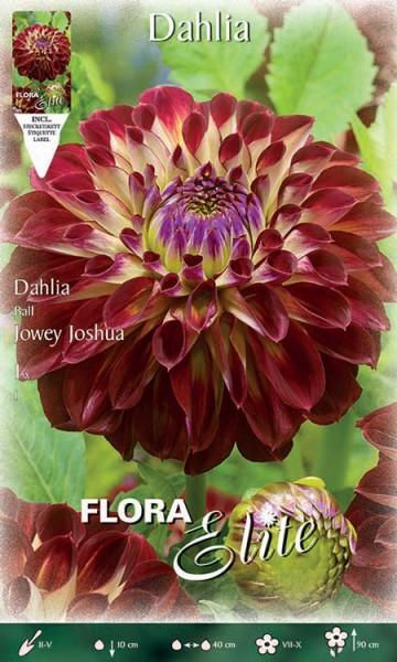 Ball-Dahlie 'Jowey Joshua', Dahlia (Art.Nr. 520483)